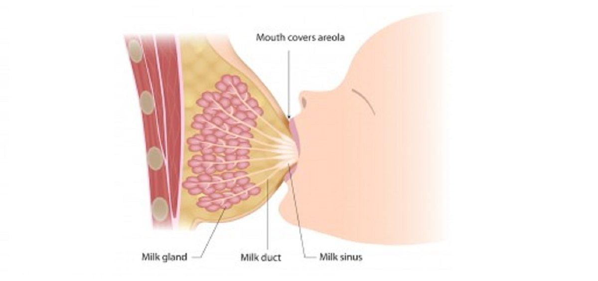 آناتومی سینه و شیردهی تاثیر جراحی سینه بر شیردهی